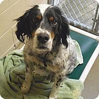 Adopt A Pet :: Bailey - Wickenburg, AZ