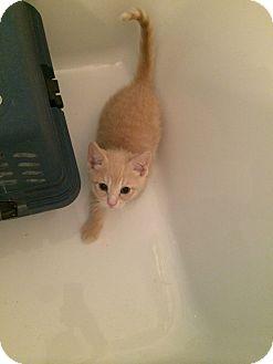 Domestic Shorthair Kitten for adoption in Chicago, Illinois - Romeo