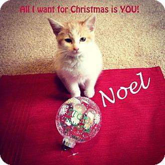 Domestic Shorthair Kitten for adoption in Overland Park, Kansas - Noel