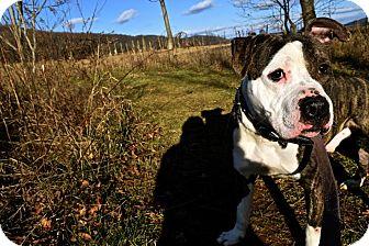 American Bulldog Mix Dog for adoption in Broadway, New Jersey - Tank
