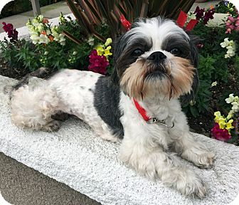 Lhasa Apso/Shih Tzu Mix Dog for adoption in Los Angeles, California - DARBY