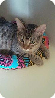 Domestic Shorthair Cat for adoption in Greenville, Illinois - Topaz