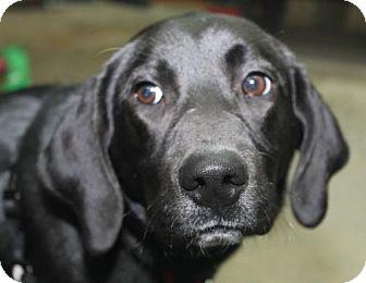 Labrador Retriever Mix Dog for adoption in London, Ontario - Oakley