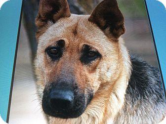 German Shepherd Dog Dog for adoption in Los Angeles, California - IDA VON IDOL