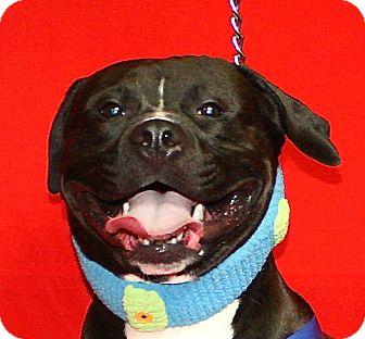 Pit Bull Terrier Mix Dog for adoption in Jackson, Michigan - Tonka
