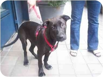 Labrador Retriever/Pit Bull Terrier Mix Puppy for adoption in Brooklyn, New York - Liberty