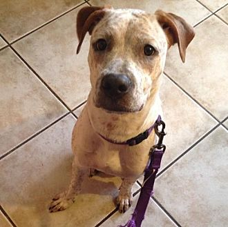 Boxer/Pit Bull Terrier Mix Puppy for adoption in Chandler, Arizona - ZELDA 2
