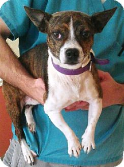 Boston Terrier Mix Dog for adoption in Dover, Tennessee - Rascal