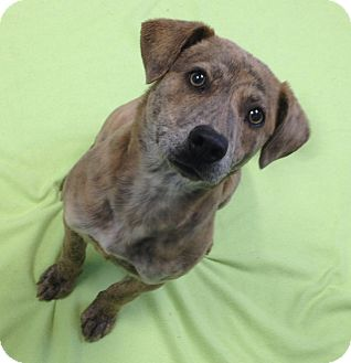 Catahoula Leopard Dog/Terrier (Unknown Type, Small) Mix Dog for adoption in Fishkill, New York - Lola