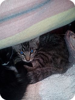 Domestic Shorthair Kitten for adoption in Glendale, Arizona - Thomas