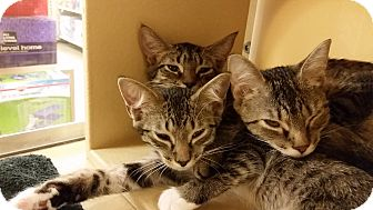 Domestic Shorthair Kitten for adoption in East Hartford, Connecticut - Brittney (in CT)