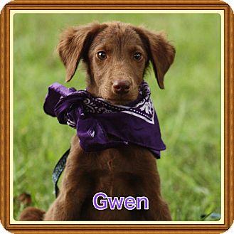 Labrador Retriever/Spaniel (Unknown Type) Mix Puppy for adoption in Harrisburg, Pennsylvania - Gwen