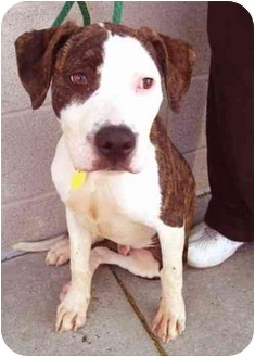American Staffordshire Terrier/Beagle Mix Puppy for adoption in New York, New York - Duke