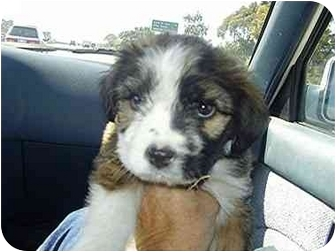 English Sheepdog/Terrier (Unknown Type, Medium) Mix Puppy for adoption in Vista, California - Rosy