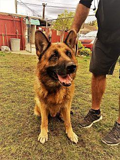 German Shepherd Dog Dog for adoption in San Diego, California - Kaiser