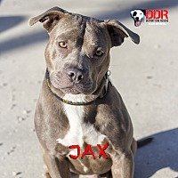 Adopt A Pet :: Jax - St. Clair Shores, MI