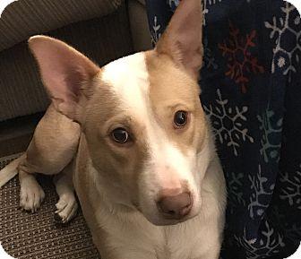 Terrier (Unknown Type, Medium) Mix Dog for adoption in West Allis, Wisconsin - Azalia **Courtesy Cupid**