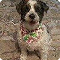 Maltese/Poodle (Standard) Mix Dog for adoption in Hampton, Virginia - WOMBAT