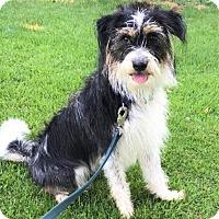 Adopt A Pet :: Griffon - Upper Marlboro, MD