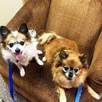 Pomeranian Mix Dog for adoption in Gilbert, Arizona - Bear & Gizmo
