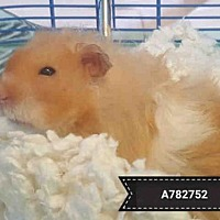 Adopt A Pet :: PASHMAK - Toronto, ON