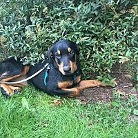 Adopt A Pet :: Coco - Centreville, VA