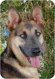 German Shepherd Dog Dog for adoption in Los Angeles, California - Taiga von Tannenbaum