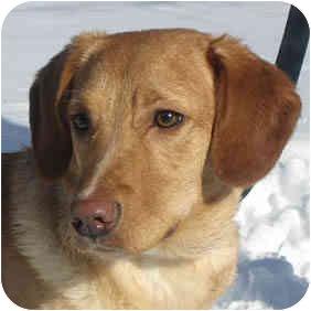 Labrador Retriever Mix Puppy for adoption in Jacksonville, Florida - Summer