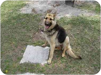 German Shepherd Dog Dog for adoption in Green Cove Springs, Florida - Odin