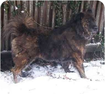 Chow Chow/Keeshond Mix Dog for adoption in Latrobe, Pennsylvania - Honey