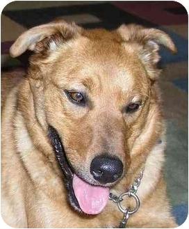 Labrador Retriever/German Shepherd Dog Mix Dog for adoption in Seattle, Washington - Nikki