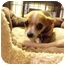Photo 1 - Chihuahua Puppy for adoption in Wilminton, Delaware - Jezzabelle