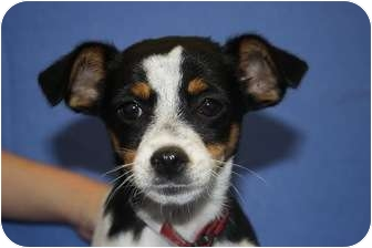 Rat Terrier/Terrier (Unknown Type, Small) Mix Puppy for adoption in Broomfield, Colorado - Carrie