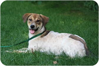 Australian Cattle Dog/Labrador Retriever Mix Puppy for adoption in West Milford, New Jersey - LILLIAN