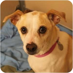 Rat Terrier Mix Dog for adoption in Naperville, Illinois - Lovee