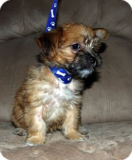 Chihuahua/Terrier (Unknown Type, Small) Mix Puppy for adoption in Broomfield, Colorado - Coco Puff