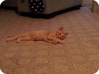 Domestic Shorthair Kitten for adoption in Marietta, Georgia - Garfunkel