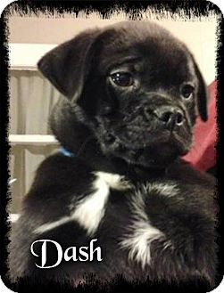 Pug Mix Puppy for adoption in Crowley, Louisiana - Dash