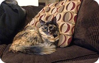 Maine Coon Cat for adoption in Dallas, Texas - Mimi