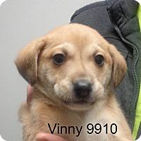 Adopt A Pet :: Vinny - Greencastle, NC
