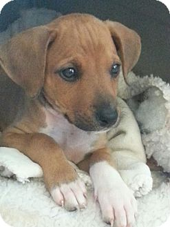 Beagle/Terrier (Unknown Type, Medium) Mix Puppy for adoption in Vancouver, British Columbia - Luna