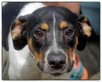 Pointer Mix Dog for adoption in Freeport, New York - Lila