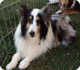 Sheltie, Shetland Sheepdog Dog for adoption in Abingdon, Maryland - Princess
