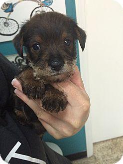Schnauzer (Miniature) Mix Puppy for adoption in Thousand Oaks, California - Ronaldo