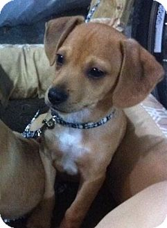 Chihuahua/Rat Terrier Mix Puppy for adoption in Loogootee, Indiana - Ty