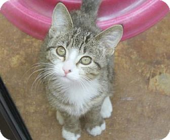Domestic Shorthair Kitten for adoption in Benbrook, Texas - Millee