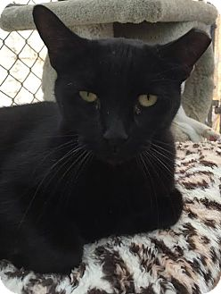 Domestic Shorthair Cat for adoption in Westminster, California - Lucifer