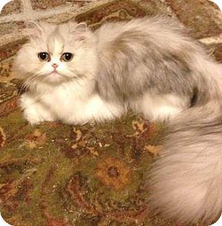 Persian Cat for adoption in Davis, California - Kitty