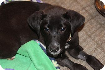 Labrador Retriever Mix Puppy for adoption in Franklinville, New Jersey - Corey