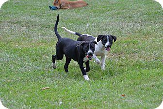 Labrador Retriever/Australian Cattle Dog Mix Puppy for adoption in Sumter, South Carolina - Harry
